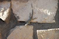 Carlsbad Lizard